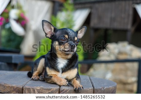 Chihuahua is sitting on the bench. Pretty brown chihuahua dog standing and facing the camera. chihuahua has a cheeky look. The dog walks in the park. Black-brown-white color of chihuahua. #1485265532