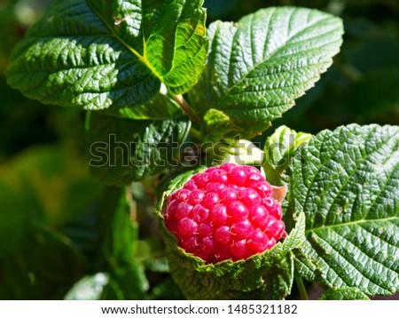 Raspberry plant. Raspberry bush. Branch of raspberries in a garden. #1485321182