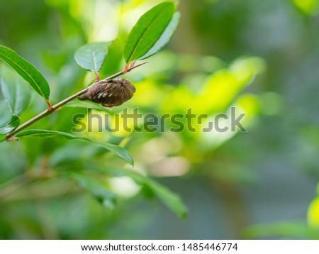 Venomous Puss Moth Caterpillar on Pomegranate Tree #1485446774