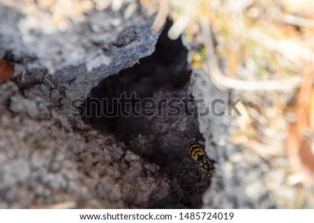 Vespula vulgaris. Wasps fly into their nest. Mink with an aspen nest. Underground wasps #1485724019
