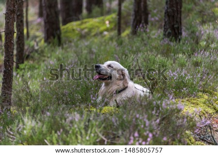 Champion English White Golden Retriever in a Forest in Latvia #1485805757