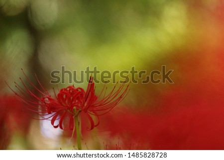 Red spider lily, Lycoris radiata (Higanbana in Japanese) floers garden in autumn #1485828728