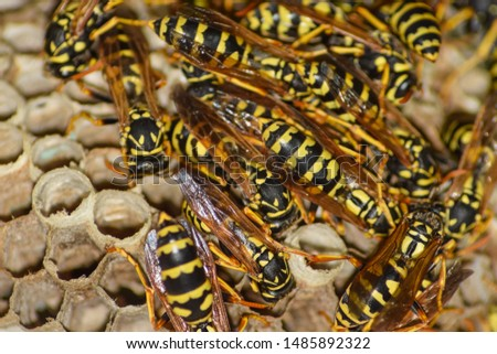 Wasp nest with wasps sitting on it. Wasps polist. The nest of a family of wasps which is taken a close-up. #1485892322