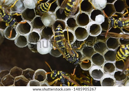 Wasp nest with wasps sitting on it. Wasps polist. The nest of a family of wasps which is taken a close-up. #1485905267