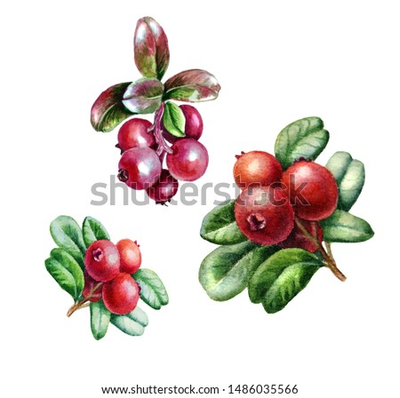 Watercolor sketch of bright cranberry berries with leaves isolated on white background. #1486035566