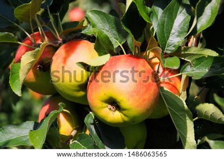 Close up of red and yellow bright shining ripe apples hanging on tree with green leaves - Viersen (Kempen), Germany #1486063565