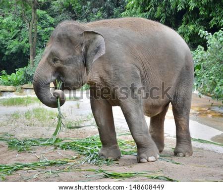 The big elephant eats a green grass #148608449