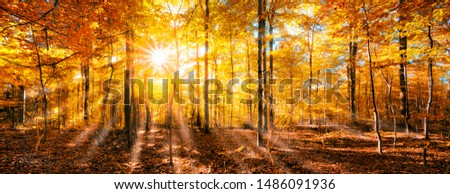 Sunlight is shining through the golden foliage in the autumn forest