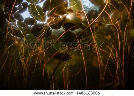 A chaotic tangle of lily pads grows wild in a shallow pond on Cape Cod, Massachusetts. Ponds and lakes cover about 2% of the planet's surface but contain most of the world's freshwater. #1486163006