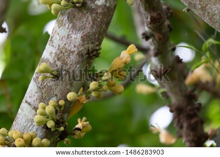 Sapodilla flower, grows on the stems in clusters #1486283903