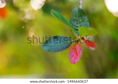 Closeup natural autumn fall view of red orange leaf glow in sun on blurred green background in garden or park. Inspirational nature october or september wallpaper. Change of seasons concept #1486660637