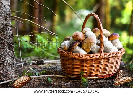 Mushroom Boletus in wicker basket. Autumn Cep Mushrooms. Spring Boletus edulis detail. Cooking delicious organic food mushroom. #1486719341