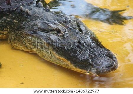 a picture of an adult alligator