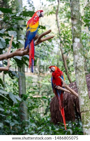 The red macaw or macaw aliverde is a species of bird of the parrot family, #1486805075