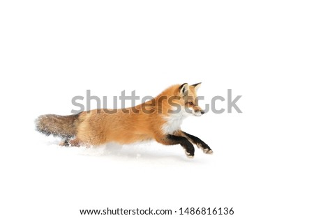 Red fox (Vulpes vulpes) with a bushy tail and orange fur coat isolated on white background running through the freshly fallen snow in winter in Algonquin Park, Canada