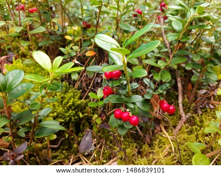 Lingonberry growing in the forest. Lingonberry berries. Bushes and leaves of lingonberry. Selective focus. #1486839101