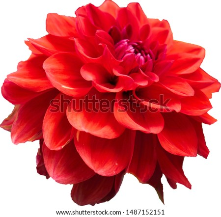 a freed dahlia with a red head #1487152151