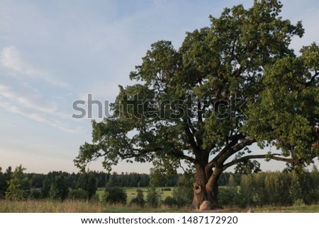 Tree against the sky. English oak, or summer oak, or ordinary oak, or English oak. A large, highly branched tree, with a huge crown and a powerful trunk. Reaches a height of 20-40 m.  #1487172920