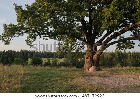 Tree against the sky. English oak, or summer oak, or ordinary oak, or English oak. A large, highly branched tree, with a huge crown and a powerful trunk. Reaches a height of 20-40 m.  #1487172923