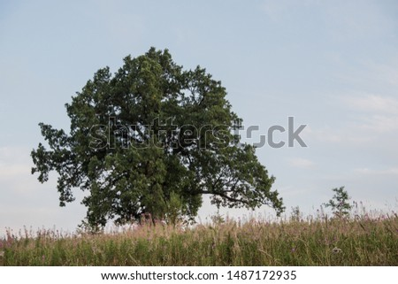 Tree against the sky. English oak, or summer oak, or ordinary oak, or English oak. A large, highly branched tree, with a huge crown and a powerful trunk. Reaches a height of 20-40 m.  #1487172935