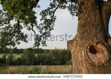 Tree against the sky. English oak, or summer oak, or ordinary oak, or English oak. A large, highly branched tree, with a huge crown and a powerful trunk. Reaches a height of 20-40 m.  #1487172941