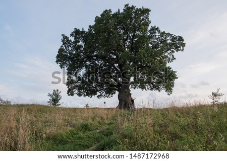 Tree against the sky. English oak, or summer oak, or ordinary oak, or English oak. A large, highly branched tree, with a huge crown and a powerful trunk. Reaches a height of 20-40 m.  #1487172968