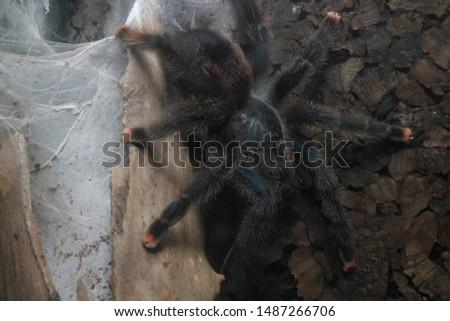 Tarantula. B. Hamorri, A. avicularia