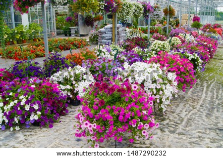 A wide display of various beautiful flowers growing in pot in a greenhouse on sale or nursery or plant shop #1487290232