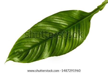 Spathiphyllum wallisei leaf tropical isolated on white background. #1487291960
