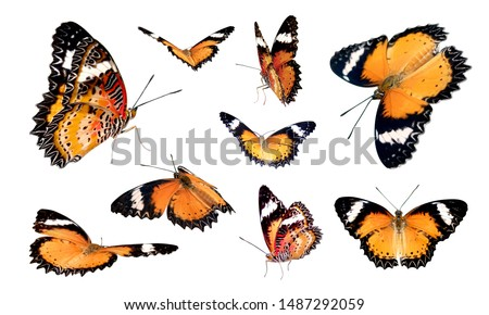Set of nine orange butterfly icon isolated on white background with clipping path. The Leopard Lacewing flying various action photo.