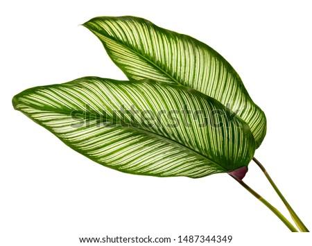 Calathea ornata leaves(Pin-stripe Calathea),Tropical foliage isolated on white background. #1487344349