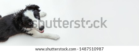 Funny studio portrait of cute smilling puppy dog border collie isolated on white background. New lovely member of family little dog gazing and waiting for reward. Pet care and animals concept. Banner #1487510987