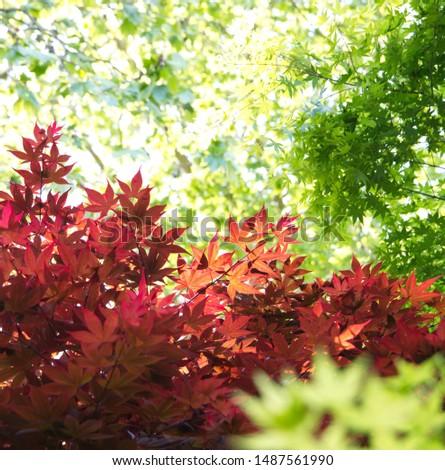Acer palmatum,  also called red emperor maple, palmate maple, Japanese maple or smooth Japanese-maple #1487561990