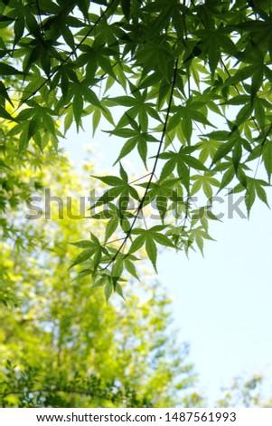 Acer palmatum,  also called red emperor maple, palmate maple, Japanese maple or smooth Japanese-maple #1487561993