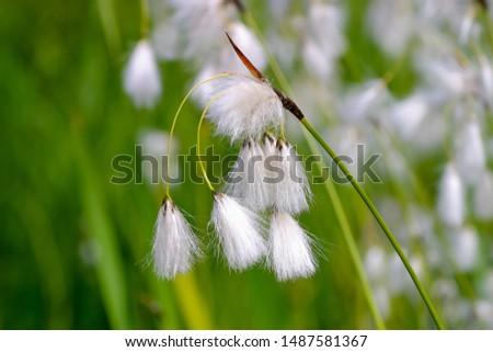 Flower of the broad-leaved cotton-grass, broad-leaved cotton-sedge, Eriophorum latifolium, in the summer #1487581367