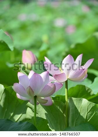 Lotus pond #148766507