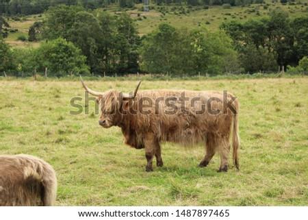 Scottish highlander cow, Highlands, Scotland #1487897465