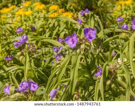 Virginia spiderwort (Tradescantia virginiana) on sun in the flowerbed in garden. #1487943761