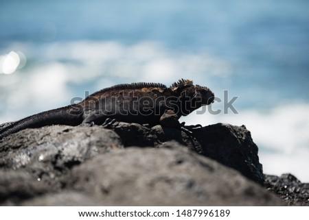 The photo of sea iguana #1487996189