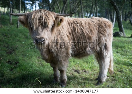 Highland Cow Scottish Highlands Cattle traditional #1488047177