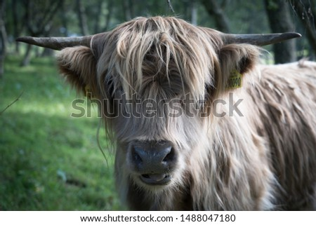 Highland Cow Scottish Highlands Cattle traditional #1488047180