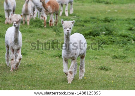 Cute alpacas pictured on a farm in Ireland.