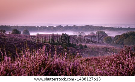 Posbank Netherlands, Sunny foggy Sunrise over the pink purple hills at Veluwezoom national park Netherlands, blooming Heather fields in the Netherlands during Sunrise  #1488127613