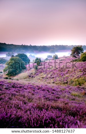 Posbank Netherlands, Sunny foggy Sunrise over the pink purple hills at Veluwezoom national park Netherlands, blooming Heather fields in the Netherlands during Sunrise  #1488127637