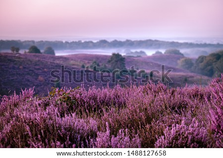 Posbank Netherlands, Sunny foggy Sunrise over the pink purple hills at Veluwezoom national park Netherlands, blooming Heather fields in the Netherlands during Sunrise  #1488127658