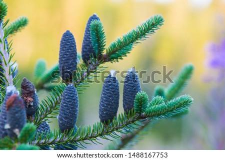 Balsam Fir - Abies balsamea cones #1488167753