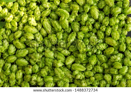 Green ripe hop cones for brewery and bakery background pattern. #1488372734
