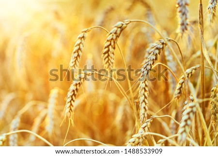 Wheat field. Ears of golden wheat. Beautiful Sunset Landscape. Background of ripening ears. Ripe cereal crop. close up #1488533909