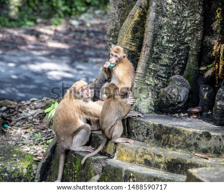 Monkeys are commonplace in the hillos of North Eastern India. This group was seen at the hill town of Kurseong, near Siliguri, in West Bengal #1488590717