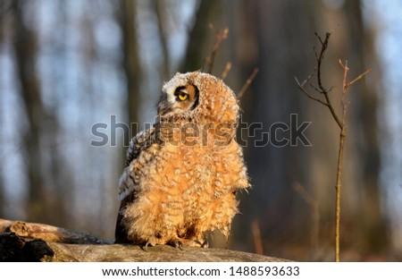 Bubo virginianus is a beautiful little owl #1488593633